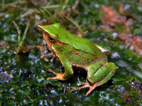 Where there's a will there's a way: working together for the conservation of Darwin's Frogs