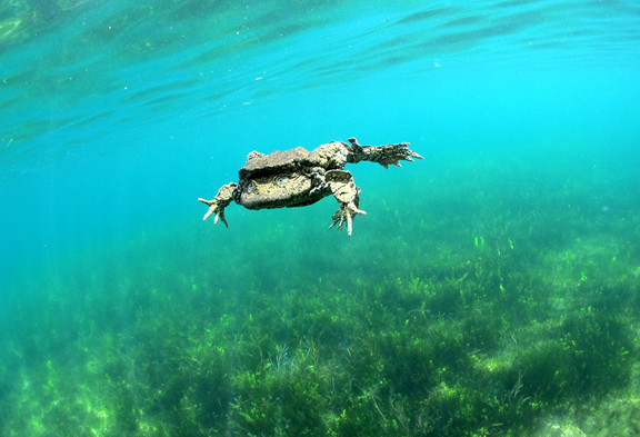 World's Largest Fully Aquatic Frog Faces Uncertain Future as Threats Continue to Mount