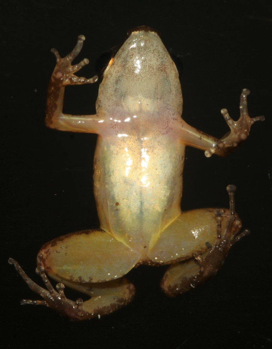 New species of nurse frog honours amphibian conservationist Marcy Sieggreen